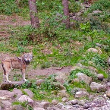Jäger und Bauern sind sich einig: Es sind genug Wölfe im Land