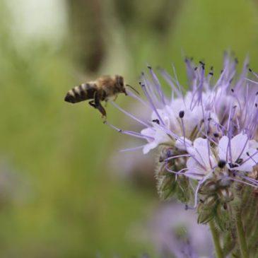 Keine aktuellen Bienenschädigungen durch Pflanzenschutzmittel
