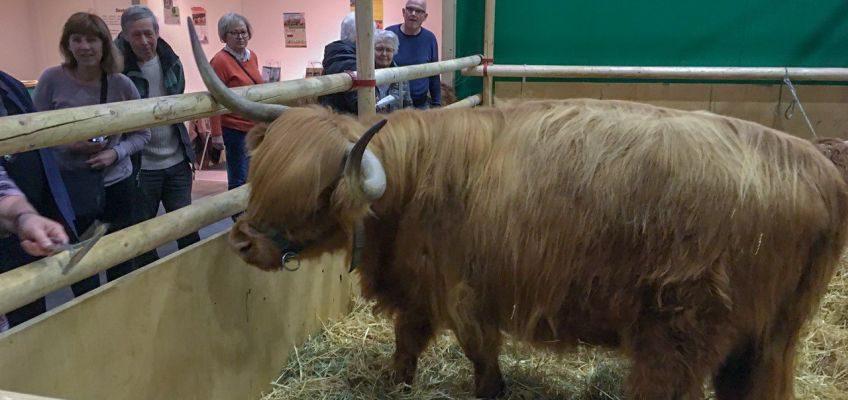 Galloway-Rinder in der Tierhalle