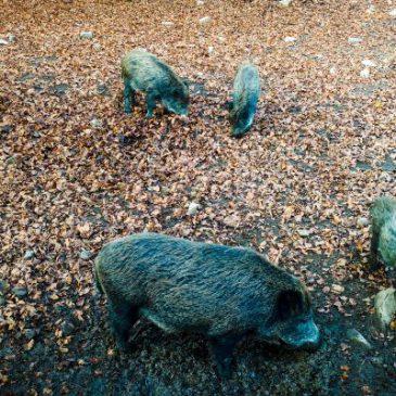 Veterinäramt informiert über Afrikanische Schweinepest