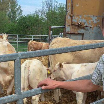 Eine Kuh macht Muh und viele Kühe machen Mühe